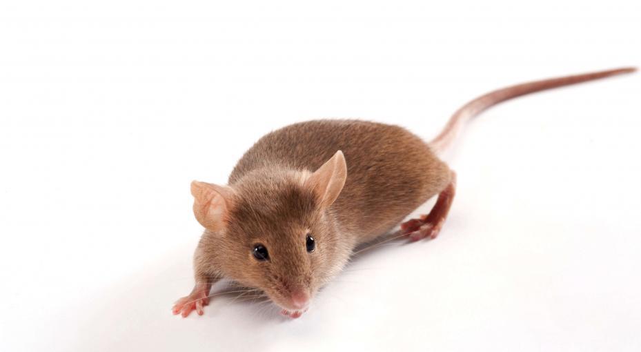 Inbred mouse