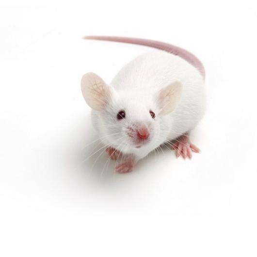 NMRI Mouse, Crl:NMRI(Han)