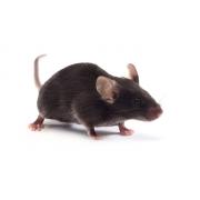 C57BL/6J Mouse (JAX™)