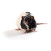 Zucker Diabetic Sprague Dawley ZDSD patkány, ZDSD/PcoCrl