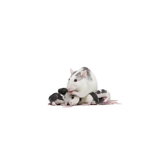 rat_1_300px